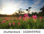 dok krachiao blooming or siam... | Shutterstock . vector #1028455903