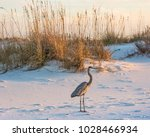 a great blue heron walks on... | Shutterstock . vector #1028466934
