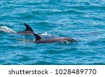 pair of dolphins in bay of... | Shutterstock . vector #1028489770