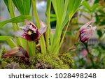 Small photo of Orchid Maxillaria sanderiana