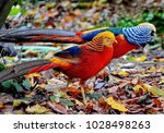 Golden  Chinese  Pheasants