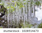 tree branch with icicles. close ...