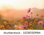cosmos colorful flower in the... | Shutterstock . vector #1028530984
