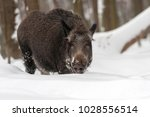 wild boar  sus scrofa  forest... | Shutterstock . vector #1028556514