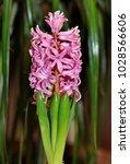 beautiful pink hyacinth.    Shutterstock . vector #1028566606