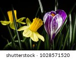 Daffodil Flowers With Crocus...