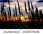 Reed Plants At Shore Of A Lake...