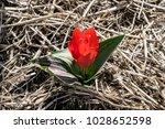 tulip of greig. red tulip....   Shutterstock . vector #1028652598