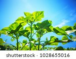 Field of young sunflower sprouts with blue sky background
