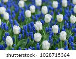 white tulips and blue grape... | Shutterstock . vector #1028715364