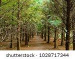 Swamp Cypress  Taxodium...