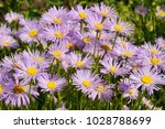 Blooming Alpine Asters  Aster...