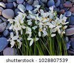 snowdrop flowers on pebble... | Shutterstock . vector #1028807539