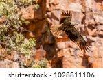 whistling kite  haliastur... | Shutterstock . vector #1028811106