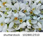 Snowdrop White Flowers Pattern...