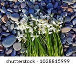 snowdrop flowers on pebble... | Shutterstock . vector #1028815999