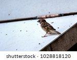 sparrow avian ornithology   Shutterstock . vector #1028818120