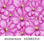 Purple Clematis Flowers For Background - stock photo