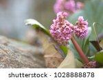 bergenia. soft focus | Shutterstock . vector #1028888878