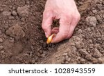 close up planting onions in row  | Shutterstock . vector #1028943559