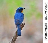 beautiful blue bird  male of... | Shutterstock . vector #1028957050