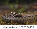vipera berus este una din... | Shutterstock . vector #1028964496