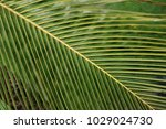 close up of coconut leaf with... | Shutterstock . vector #1029024730