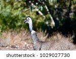 Australian Ostrich  Emu  In A...