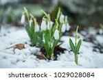 white gentle snowdrops in the... | Shutterstock . vector #1029028084