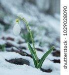 white gentle snowdrop in the... | Shutterstock . vector #1029028090
