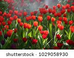 close up of red tulips blooming ... | Shutterstock . vector #1029058930