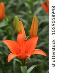 close up of orange lilly...   Shutterstock . vector #1029058948