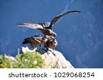 juvenile condors on the cliff ...   Shutterstock . vector #1029068254