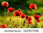 Stock photo poppies in sunset light 102907358