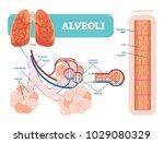 lungs alveoli schematic ... | Shutterstock .eps vector #1029080329