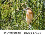 squacco heron in prague zoo ... | Shutterstock . vector #1029117139
