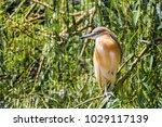 squacco heron in prague zoo ... | Shutterstock . vector #1029117139