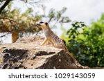 suricata looking forward in... | Shutterstock . vector #1029143059