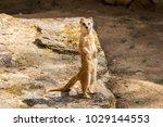 suricata looking forward in... | Shutterstock . vector #1029144553