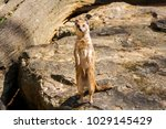 suricata looking forward in... | Shutterstock . vector #1029145429