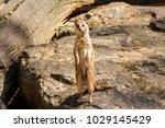 suricata looking forward in... | Shutterstock . vector #1029145429