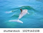 dolphin in the caribbean sea of ... | Shutterstock . vector #1029163108