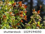 Stock photo monarch butterfly biosphere reserve michoacan mexico 1029194050