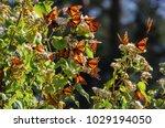 monarch butterfly biosphere... | Shutterstock . vector #1029194050