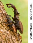 Pair Of Mating Stag Beetles On...