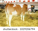 young cow on eating at the farm  | Shutterstock . vector #1029206794