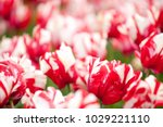 estella rijnveld tulip on a... | Shutterstock . vector #1029221110