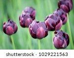 Black Hero Tulip With Raindrops