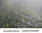 aquatic plant seaweed are... | Shutterstock . vector #1029294490