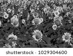 the sun flowers in black and...   Shutterstock . vector #1029304600